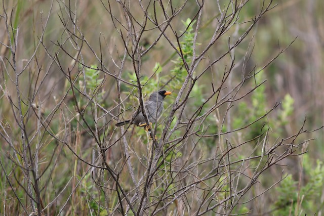 Gray-winged Inca-Finch