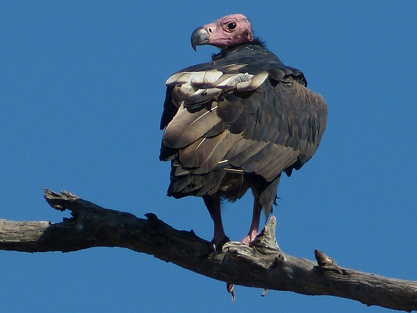 Red-headed Vulture - Shelley Rutkin
