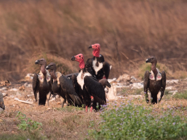 Red-headed Vulture - Aaron Lang