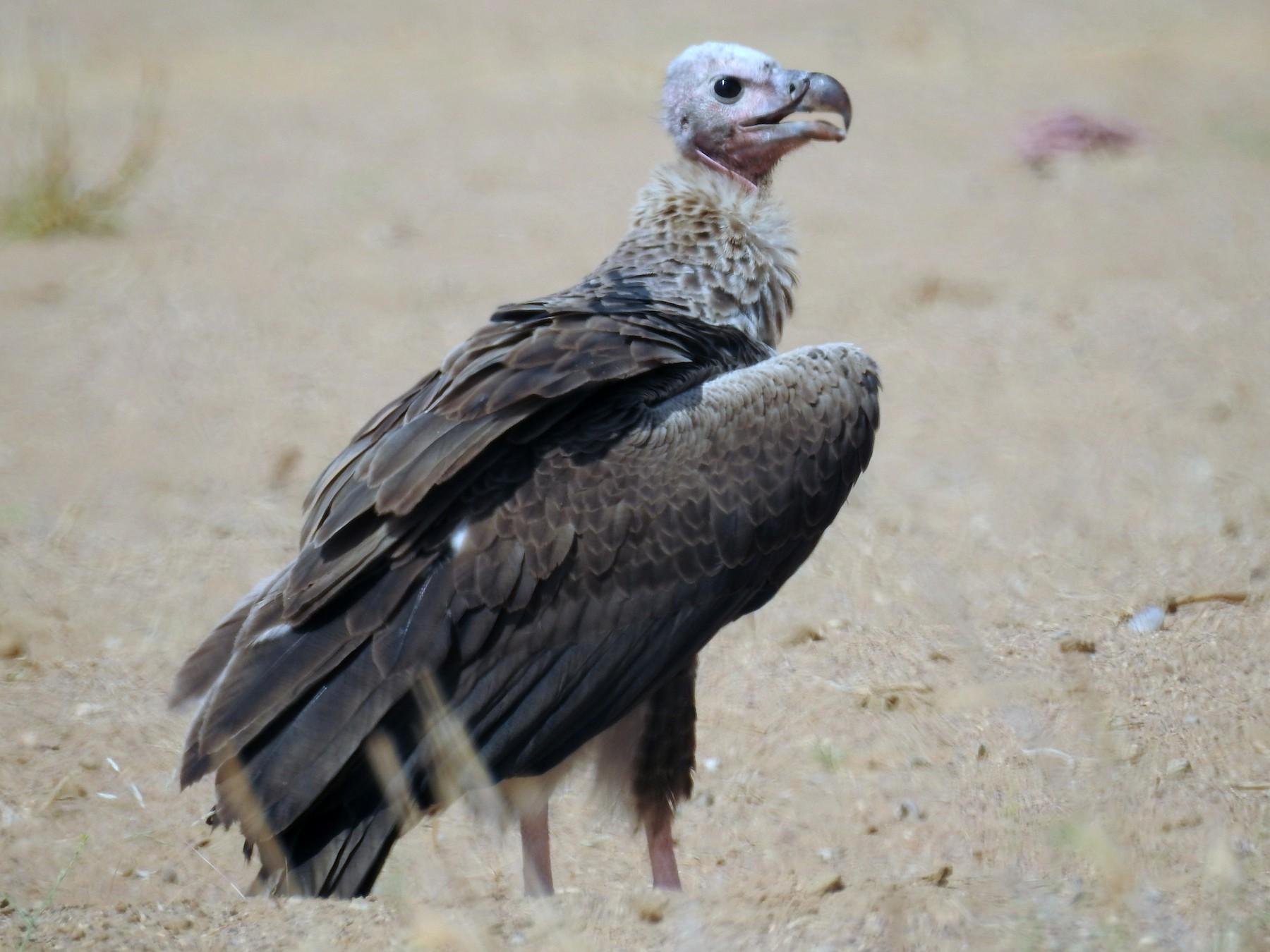 Red-headed Vulture - Ruma Sinha