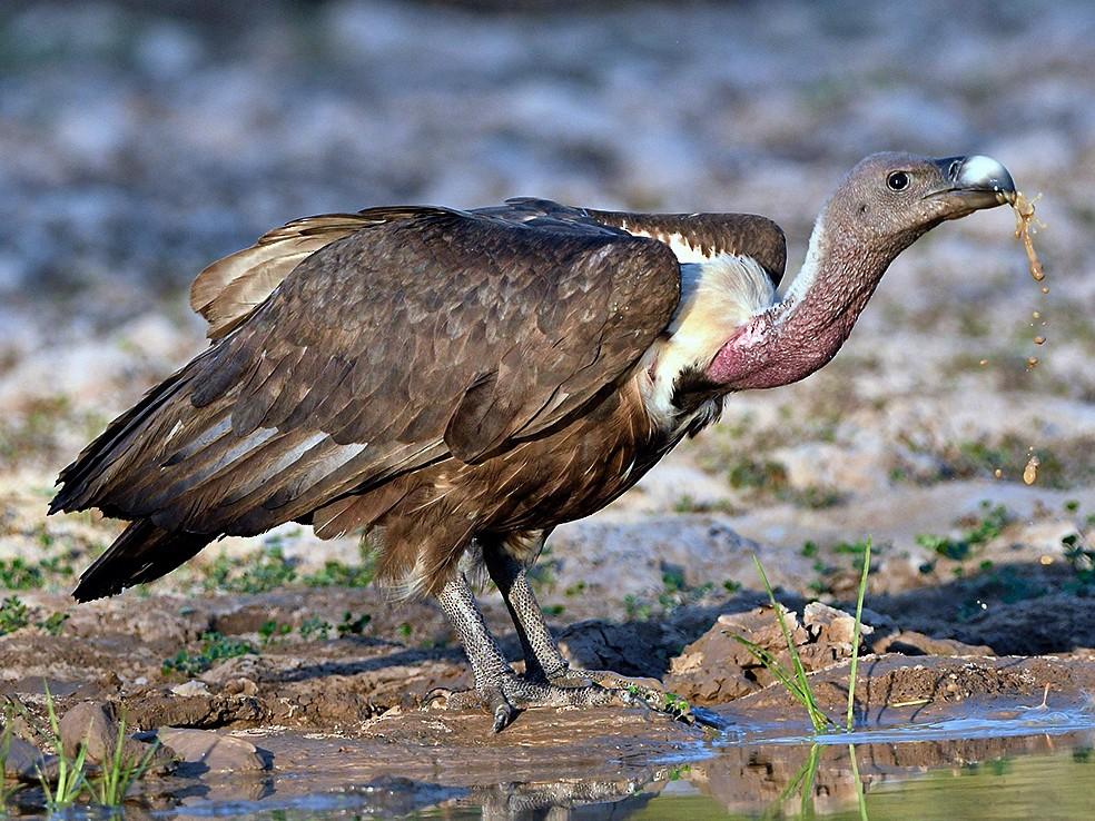 White-rumped Vulture - Chaiyan Kasorndorkbua