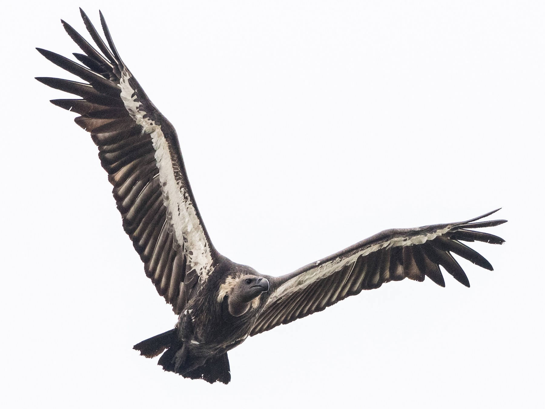 White-rumped Vulture - Stefan  Hirsch