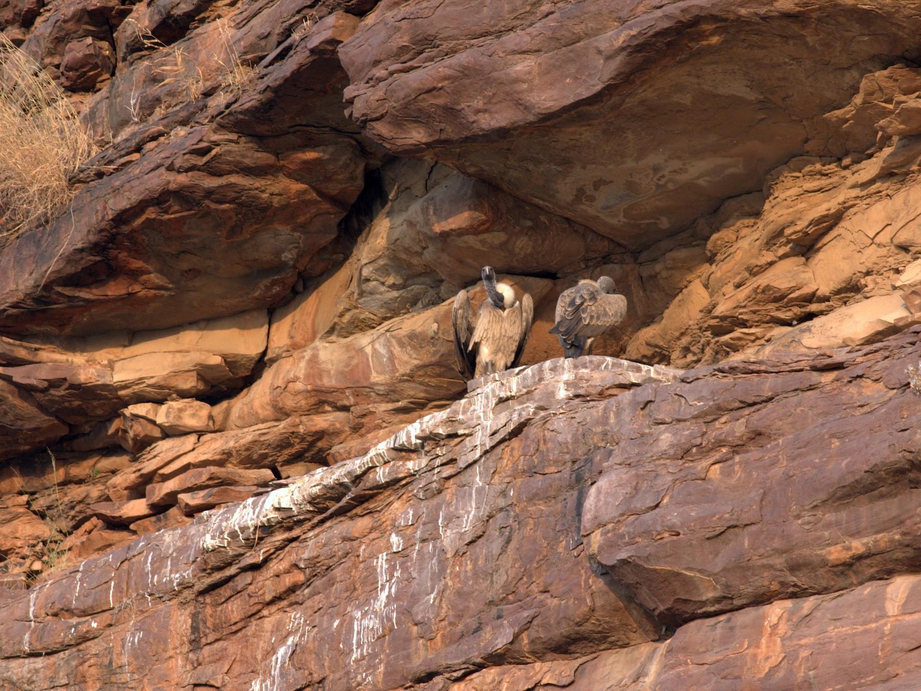 Indian Vulture - Rushil Fernandes