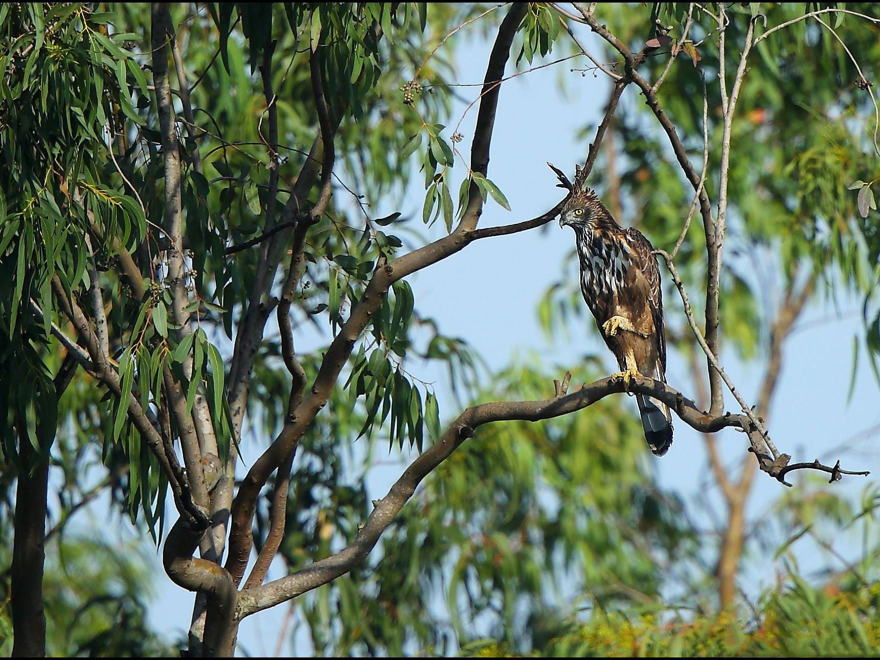 Changeable Hawk-Eagle - Albin Jacob