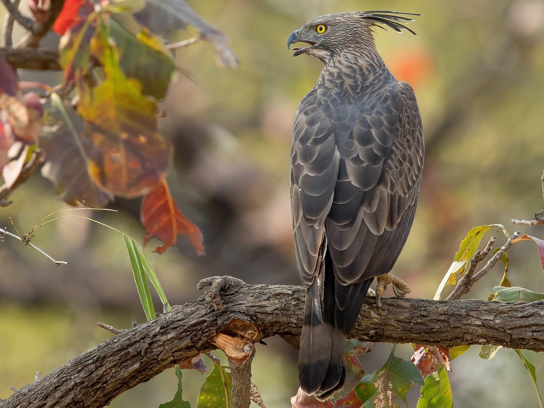 Changeable Hawk-Eagle - Rajinikanth Kasthuri