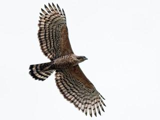 - Legge's Hawk-Eagle