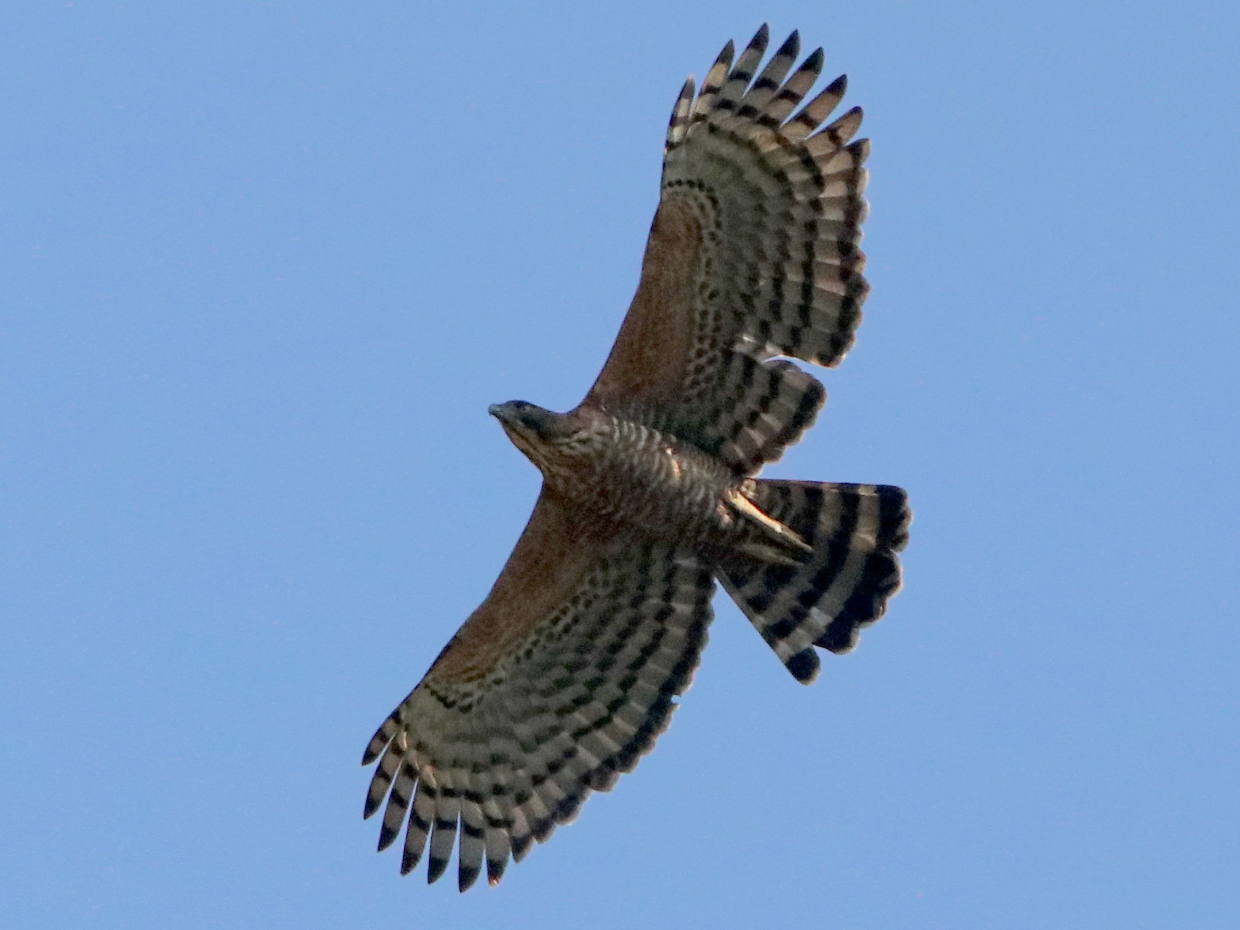 Legge's Hawk-Eagle - Vignesh Bhat