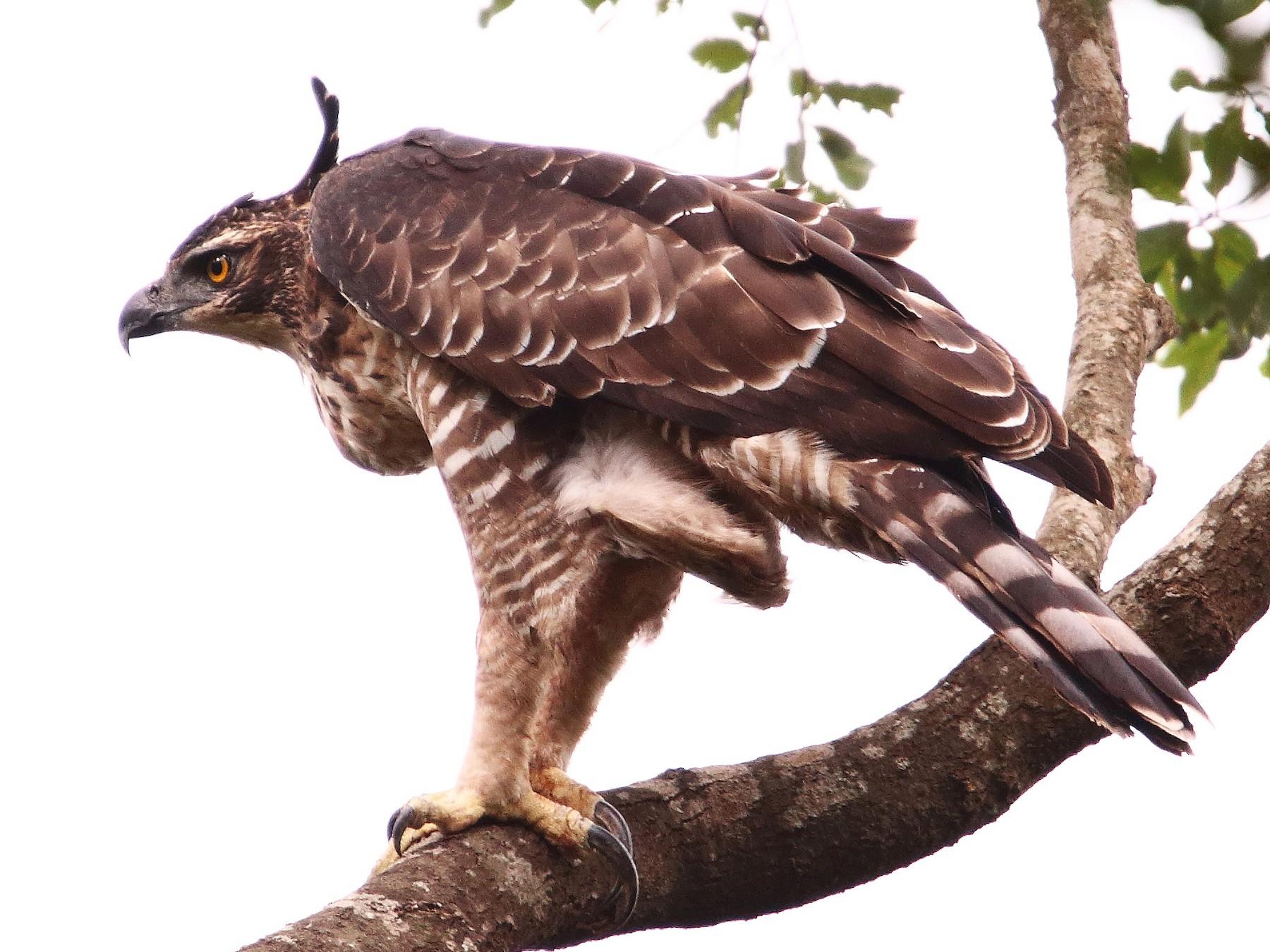 Legge's Hawk-Eagle - Mohammed Sayeer