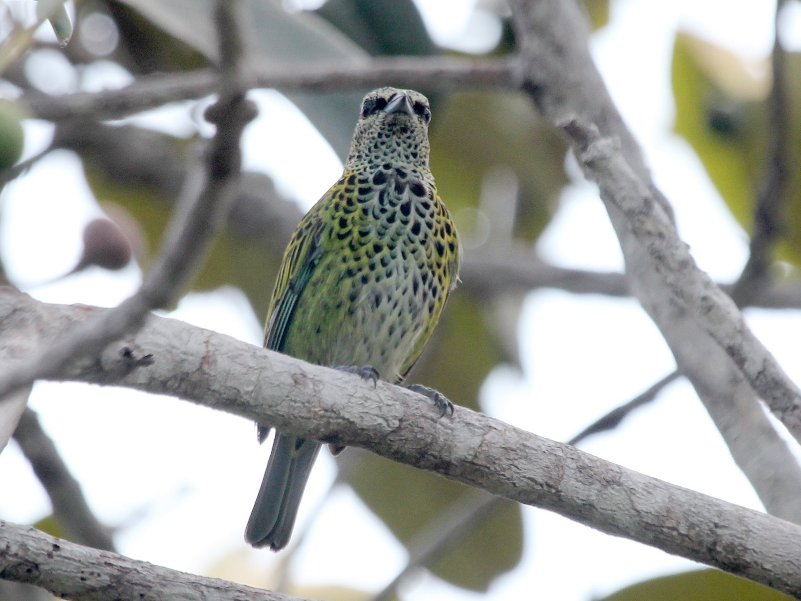 Spotted Tanager - Alexander Lees