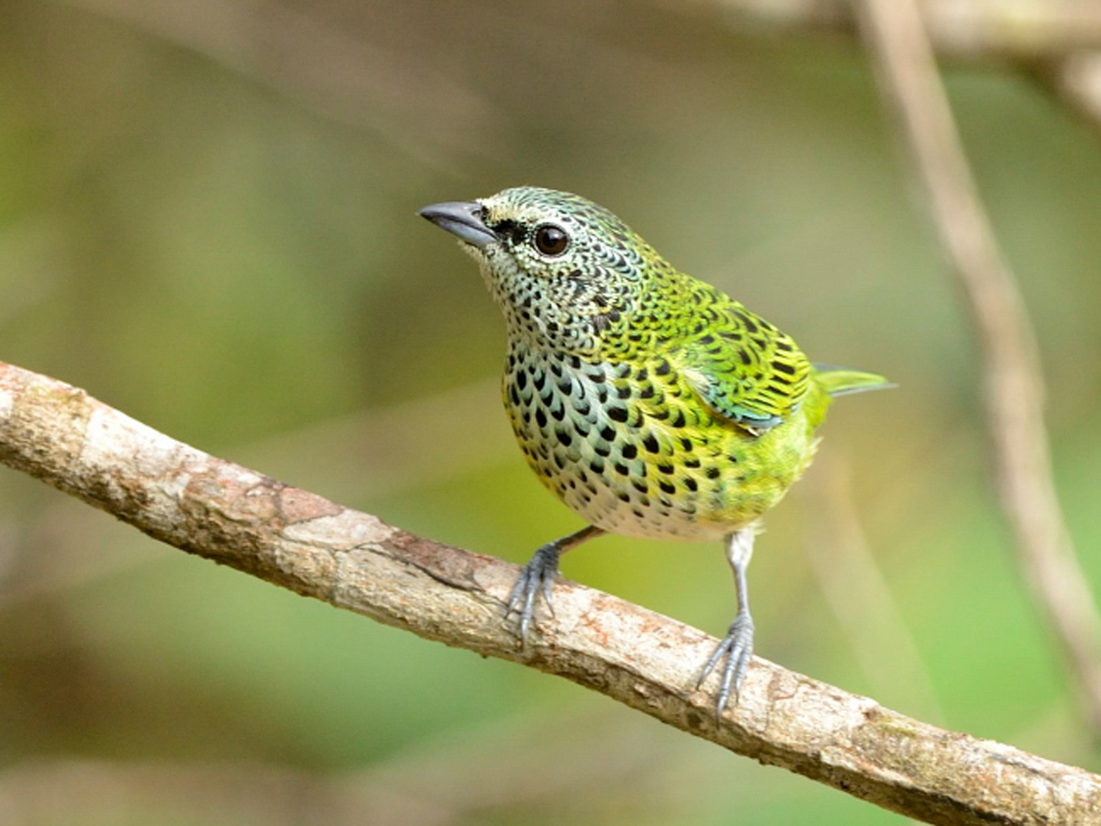 Spotted Tanager - Augusto Alves