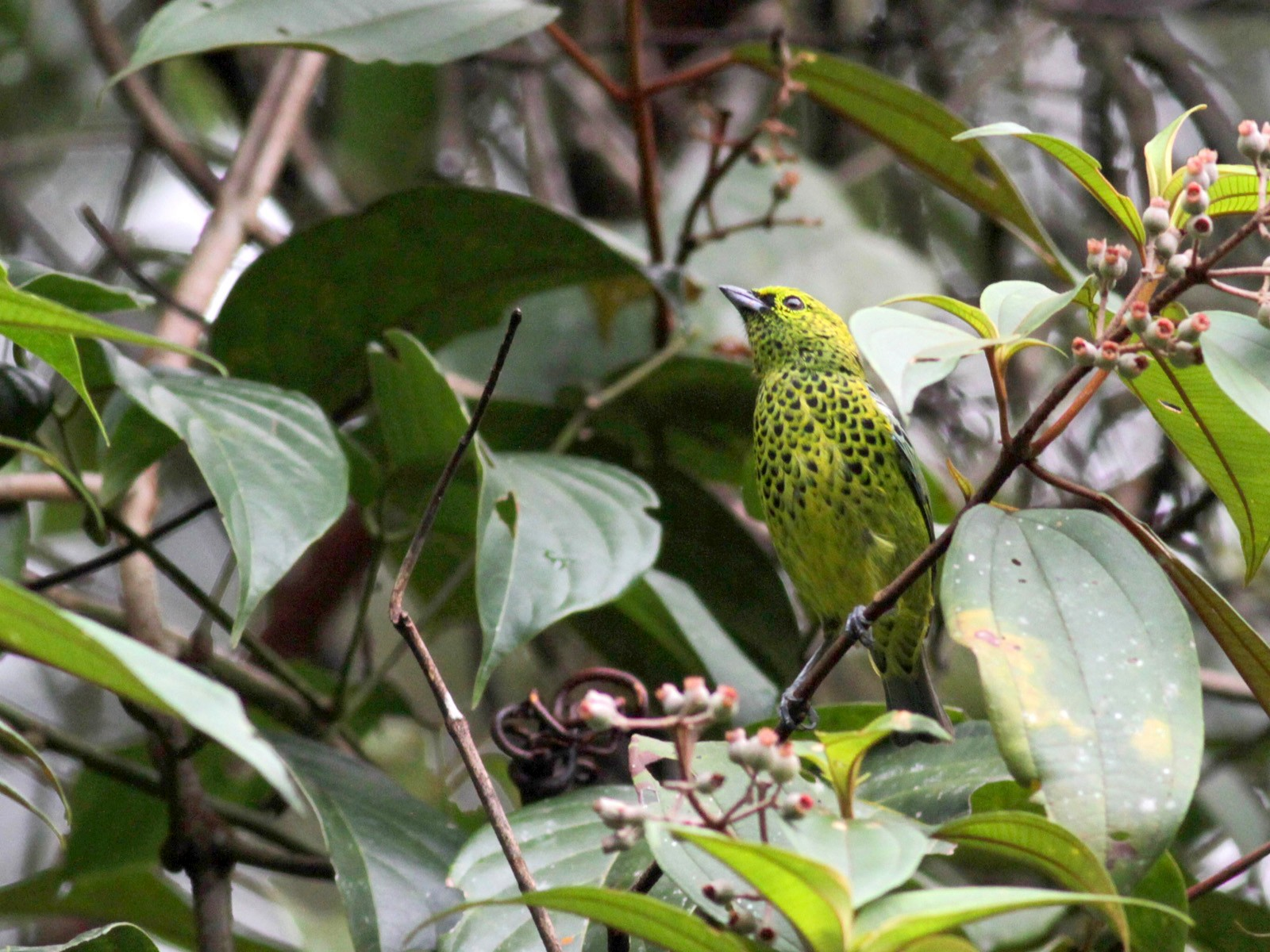Yellow-bellied Tanager - Jay McGowan
