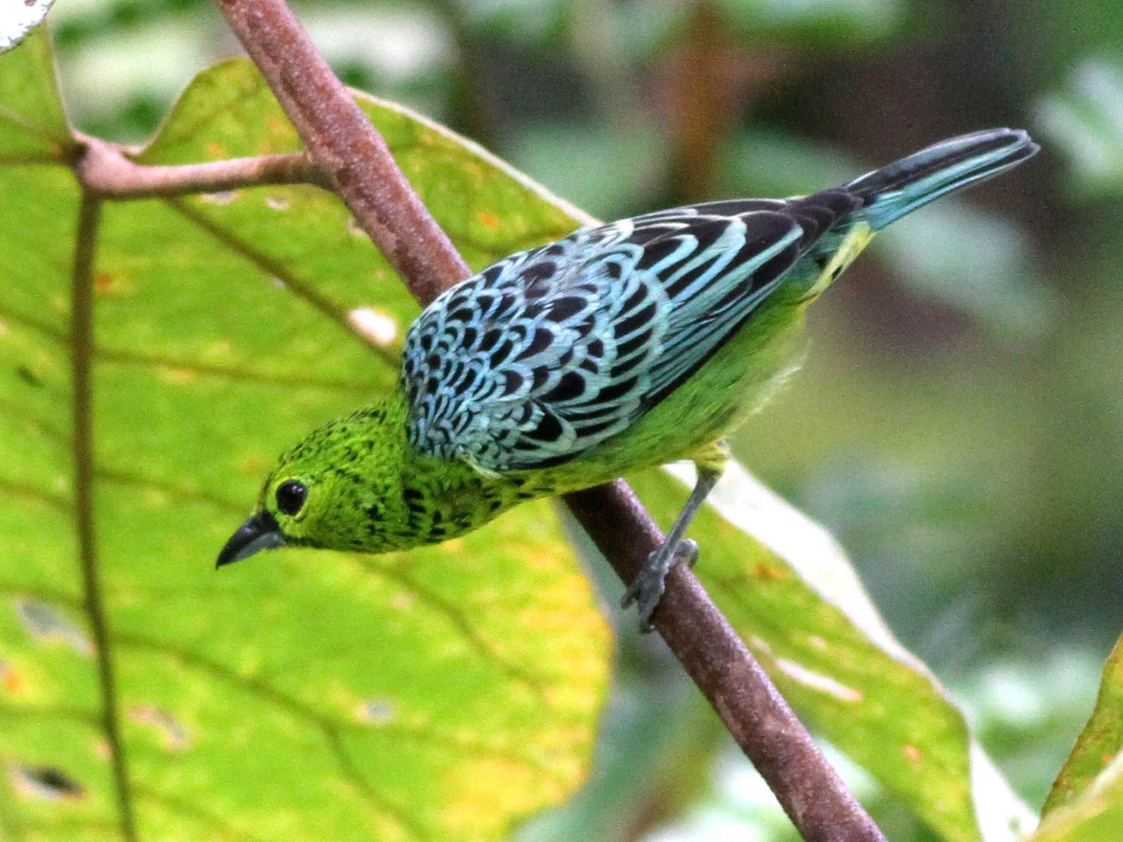 Yellow-bellied Tanager - Ian Davies