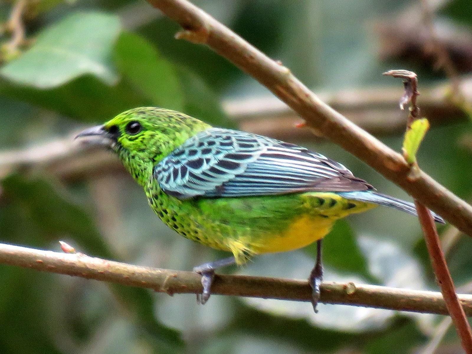 Yellow-bellied Tanager - Fernando Angulo - CORBIDI