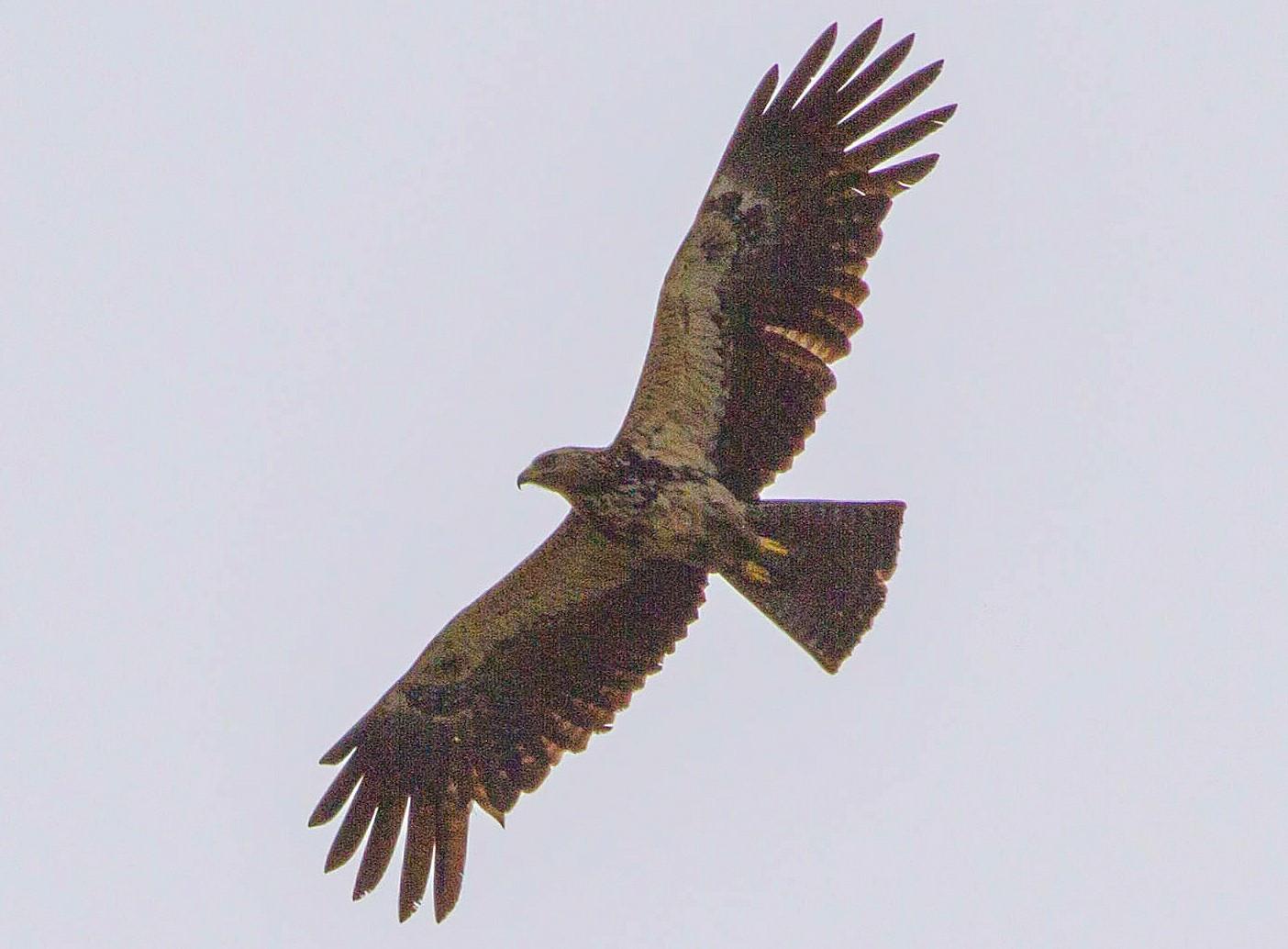 Black Eagle - NORALIP HASSANUDDIN