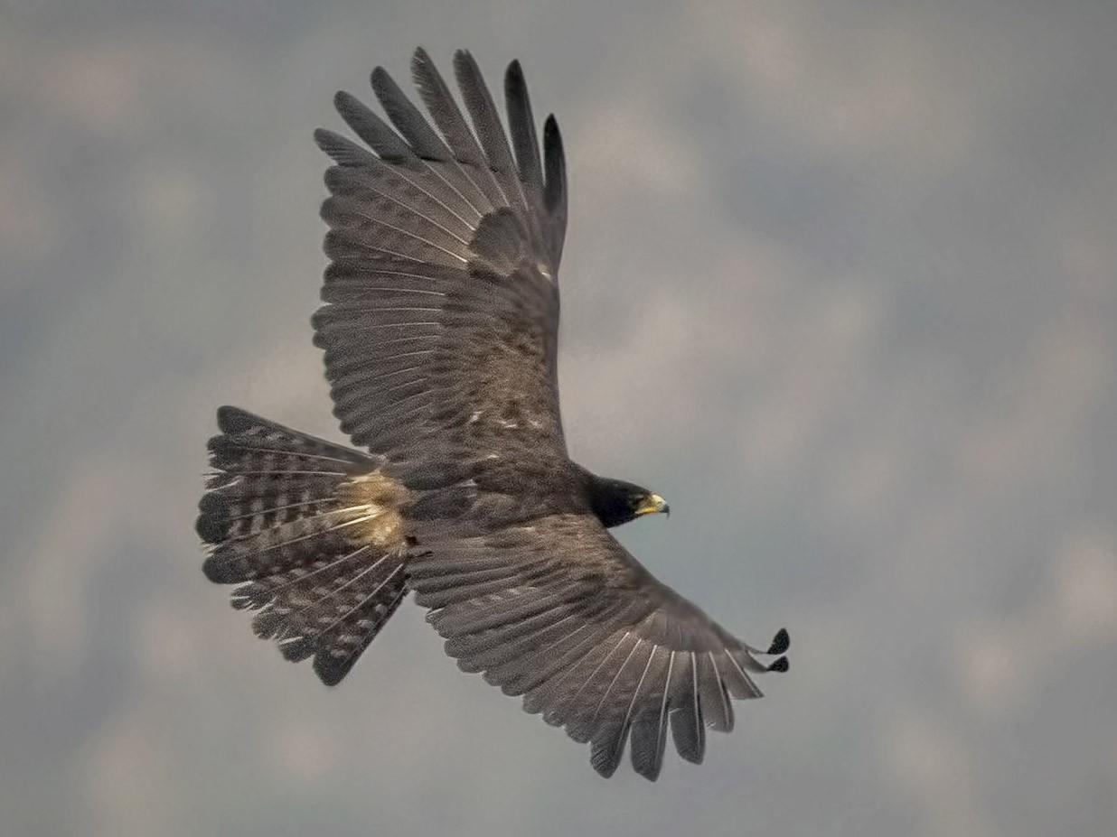 Black Eagle - Bopanna  Pattada