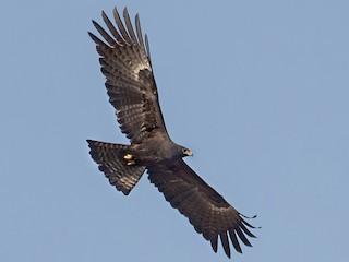 - Black Eagle