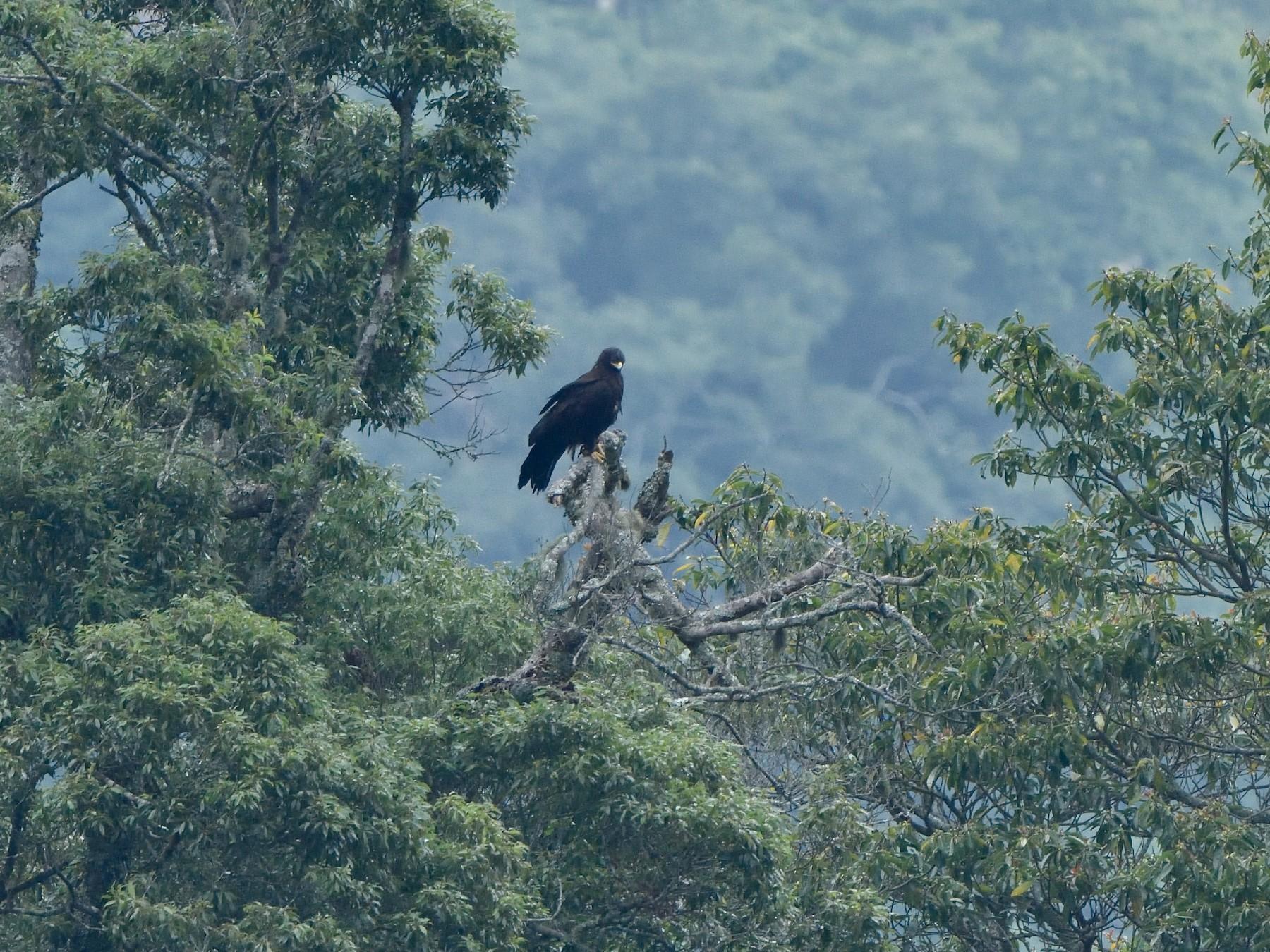 Black Eagle - jimmy Yao