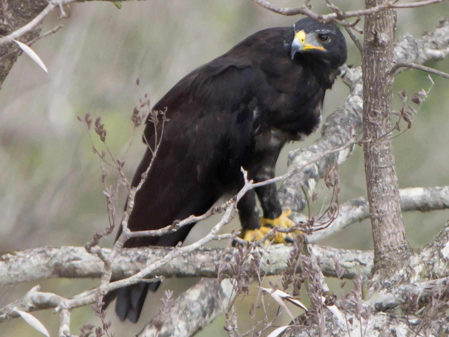 Black Eagle - Swapnil Thatte