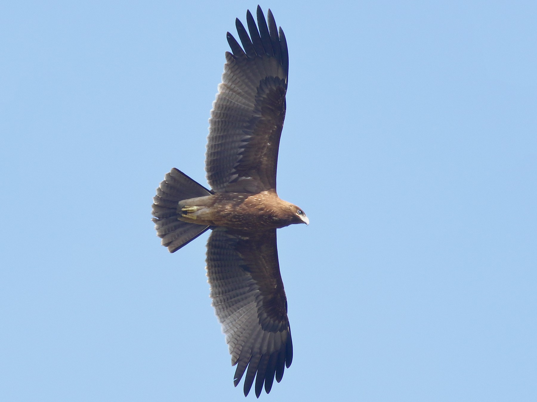 Indian Spotted Eagle - Rahul  Singh