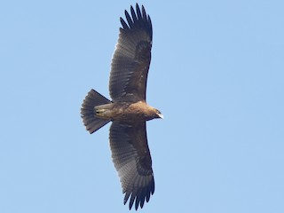 - Indian Spotted Eagle