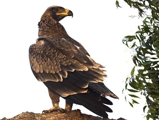 Tawny Eagle - Vaidehi  Gunjal