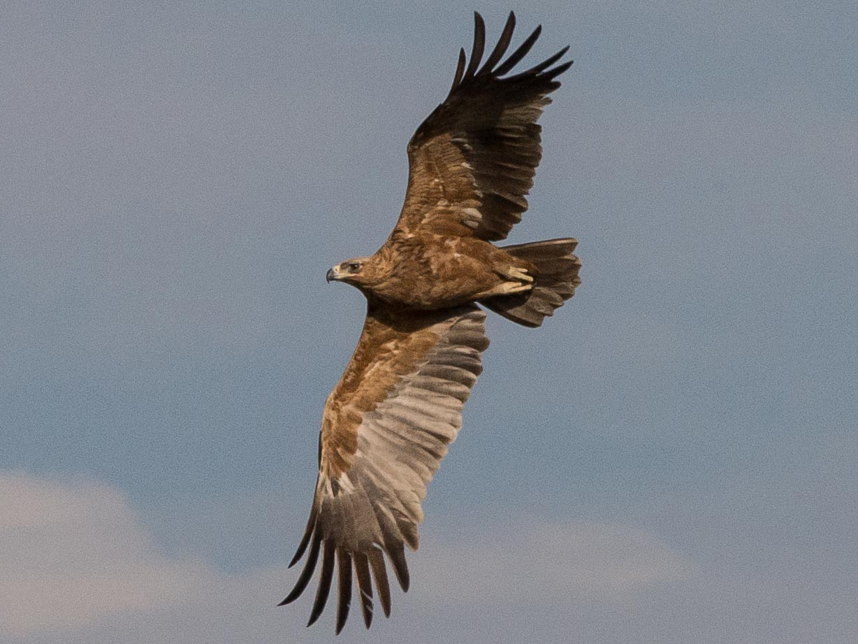 Tawny Eagle - Simon Carter