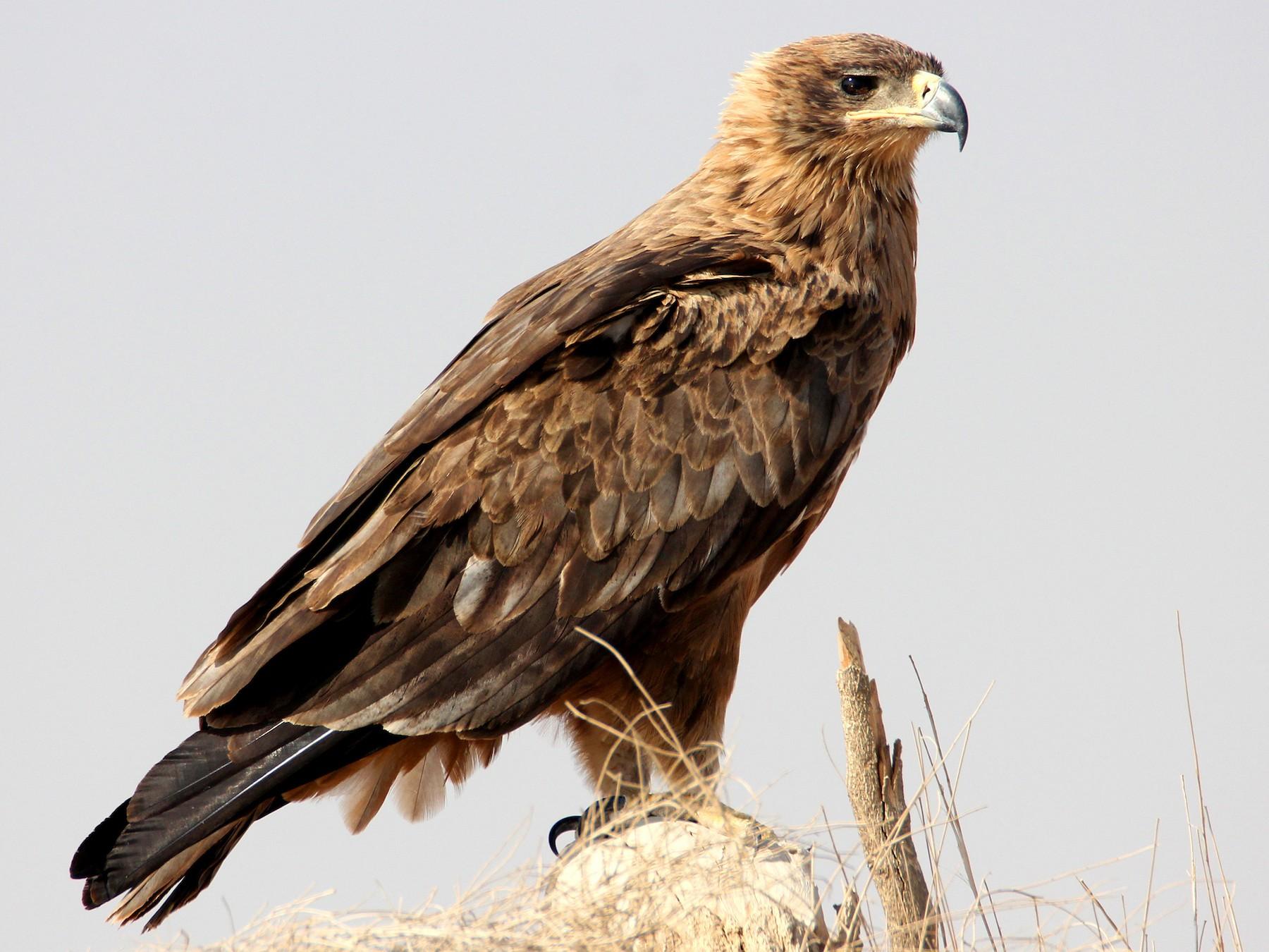 Tawny Eagle - Amol Bapat
