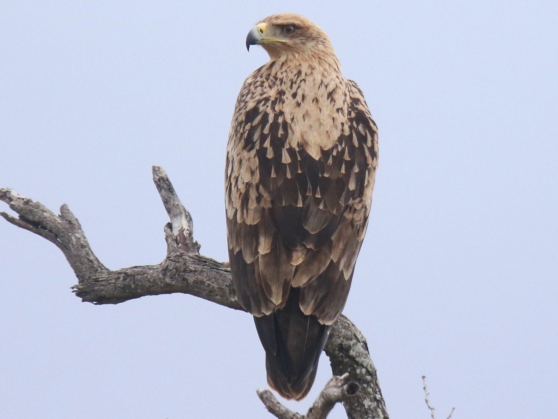 Tawny Eagle - Thompson Ian