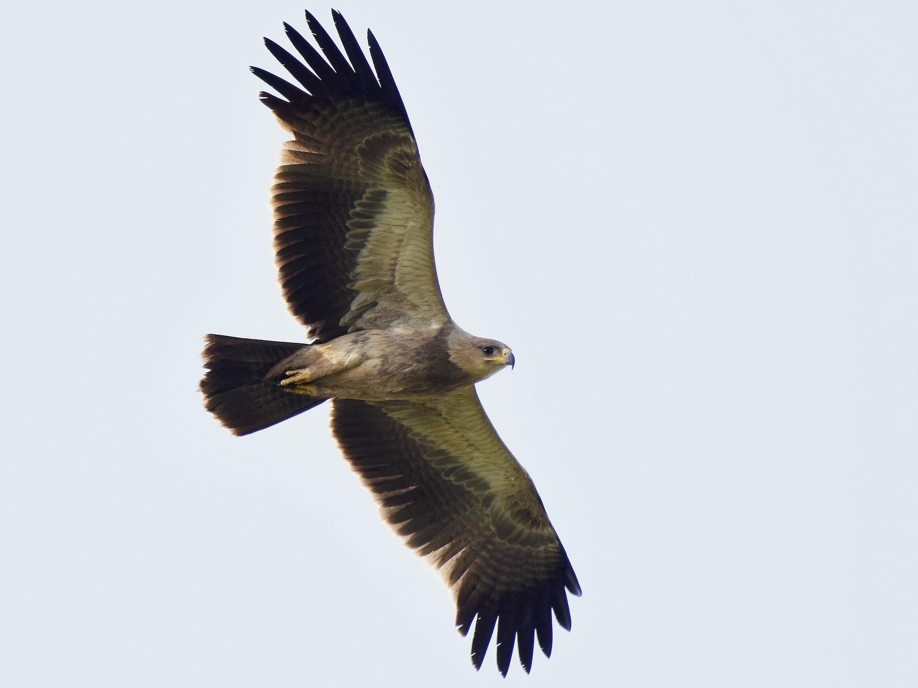 Tawny Eagle - AVINASH SHARMA