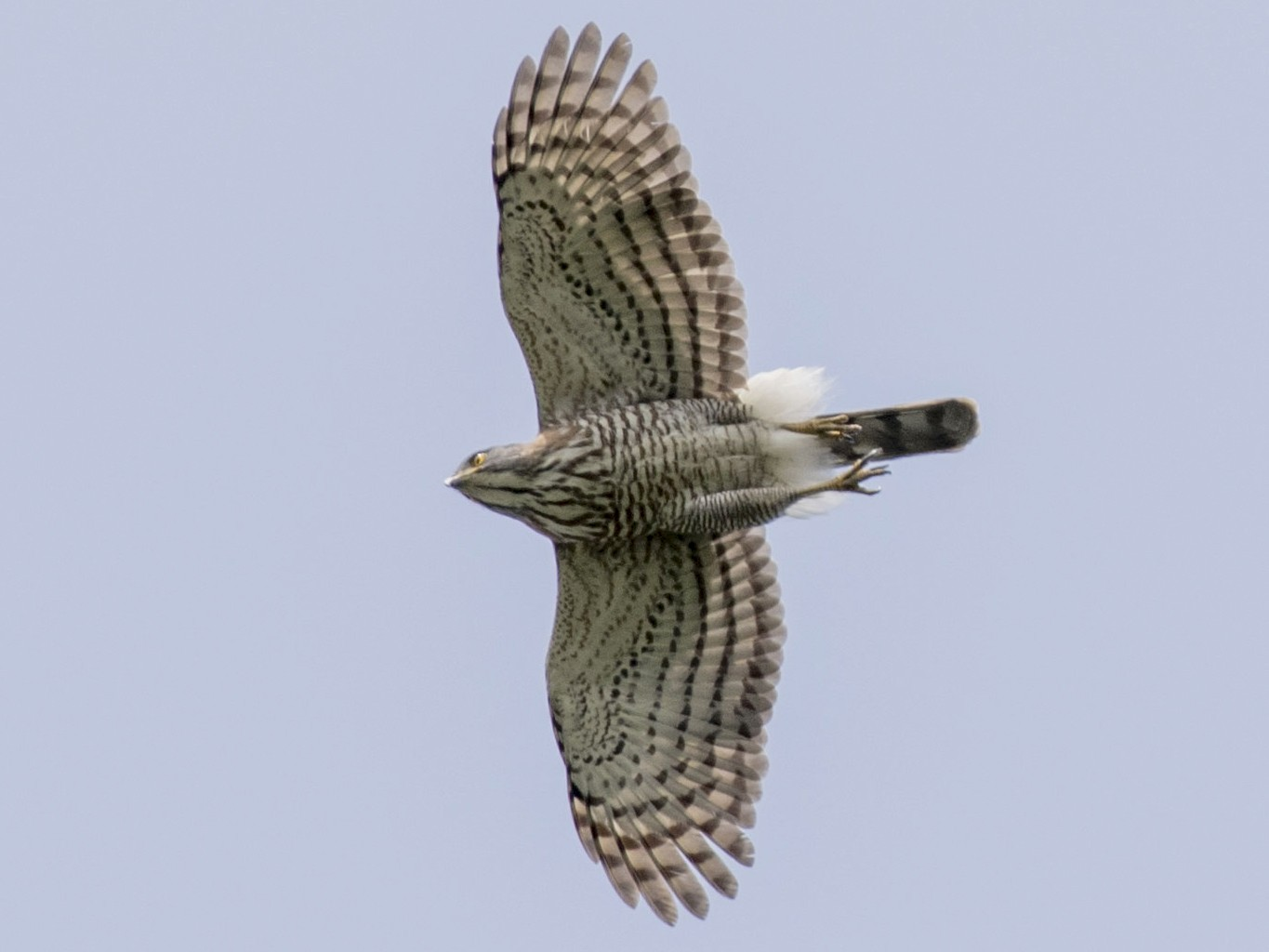 Crested Goshawk - Phil Richardson