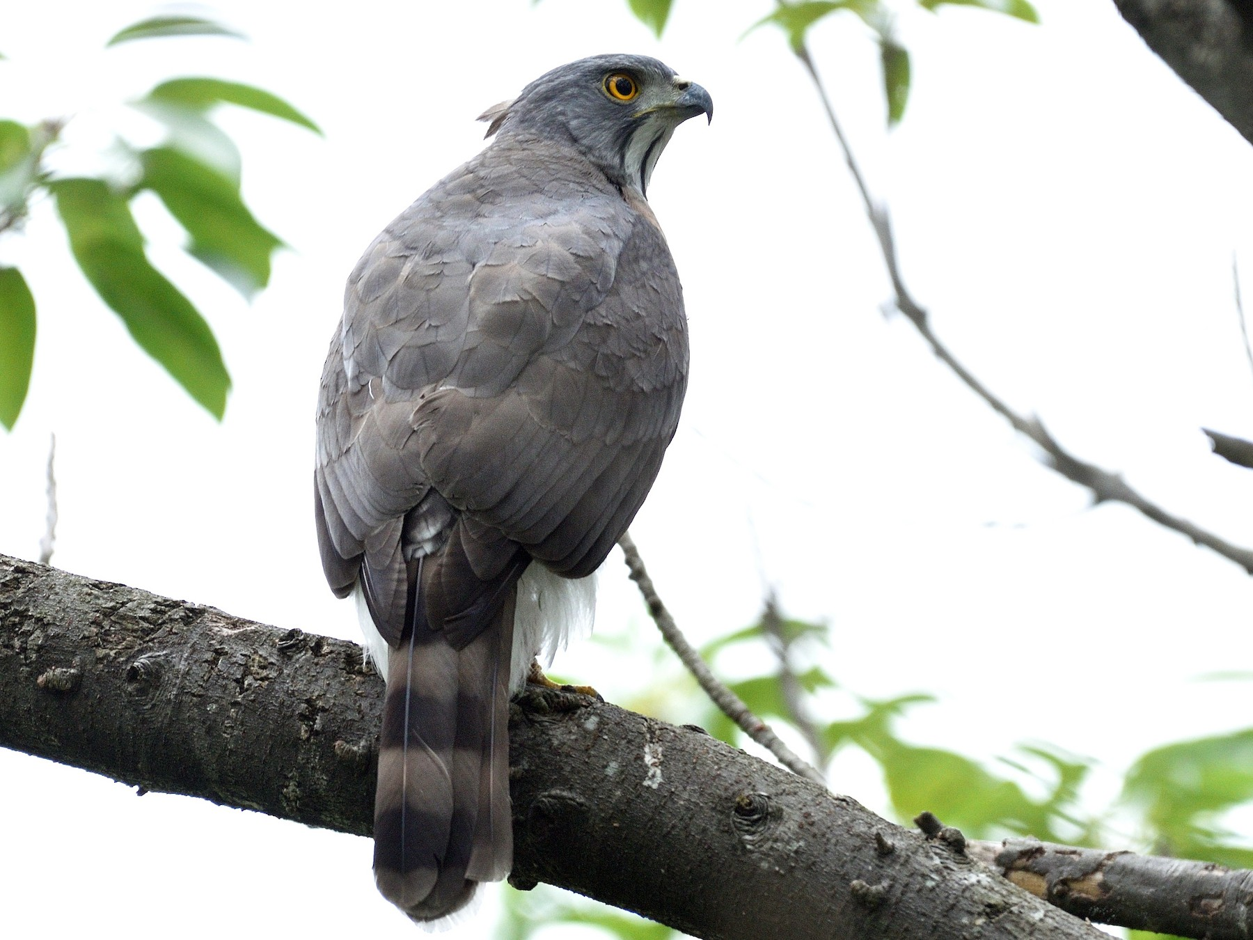 Crested Goshawk - Lee-Lien WANG