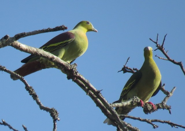 Ashy-headed Green-Pigeon