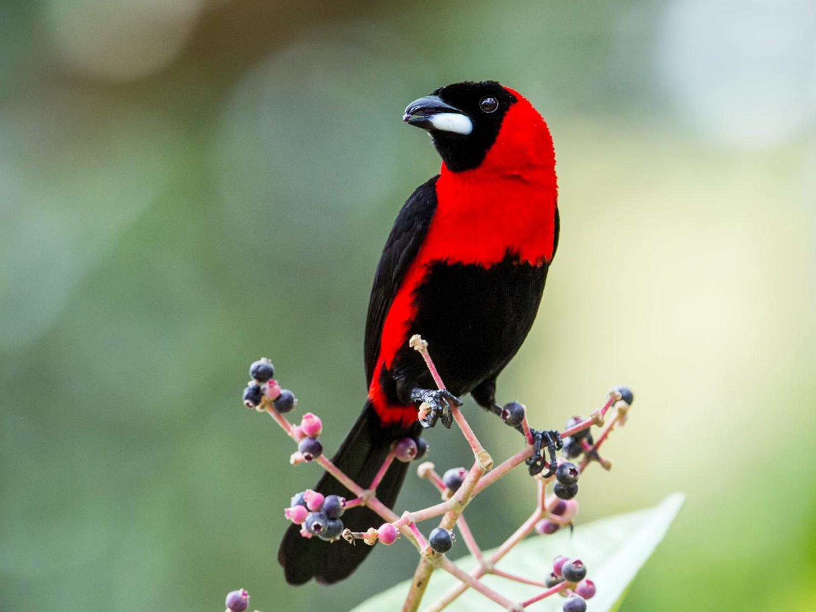 Masked Crimson Tanager - Nick Athanas