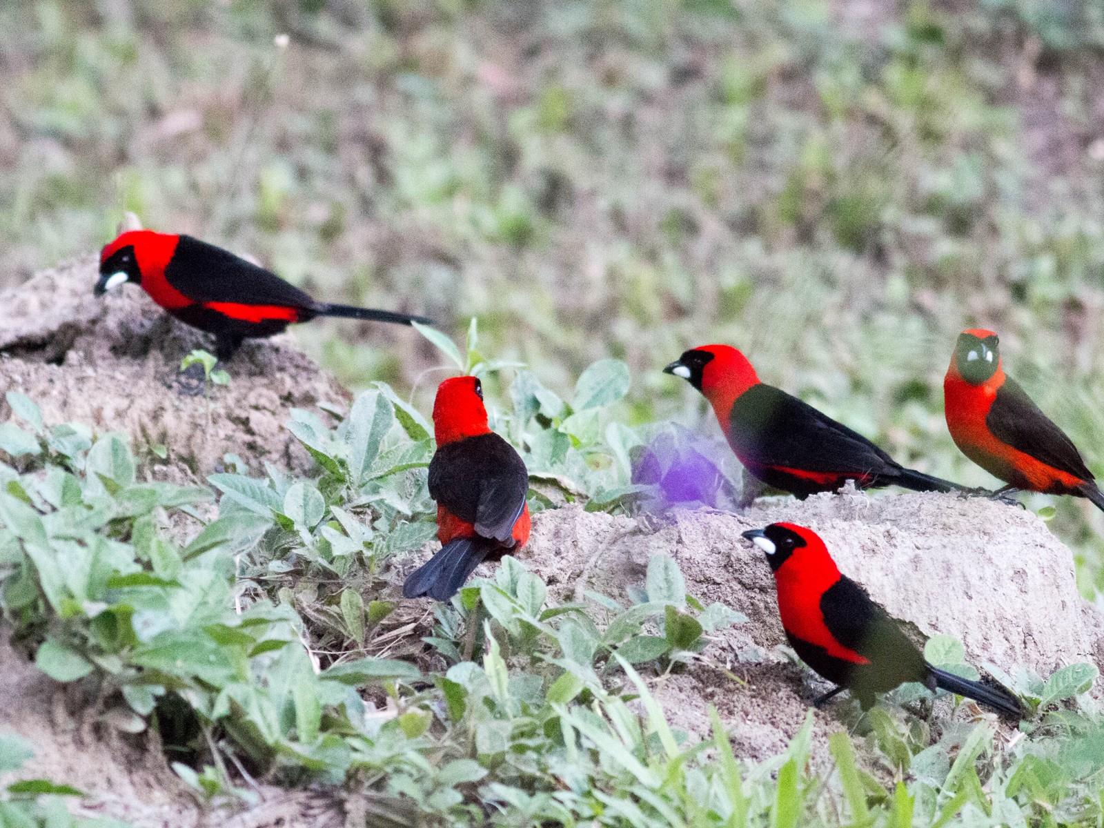Masked Crimson Tanager - Paul Fenwick