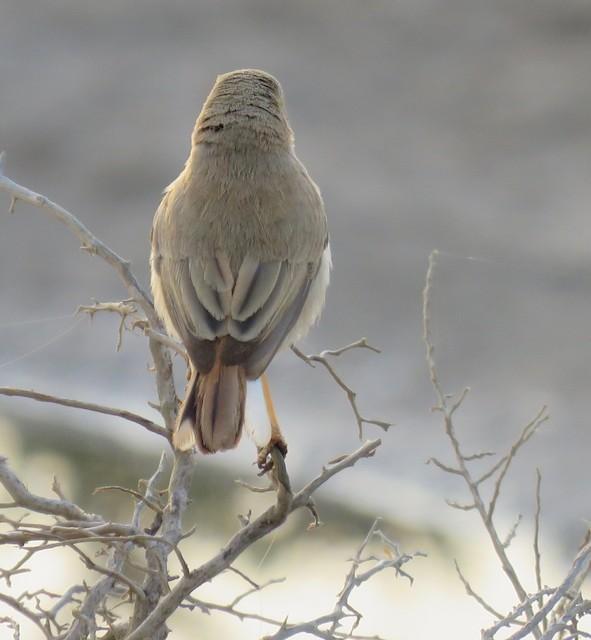 ©Brian James - Asian Desert Warbler