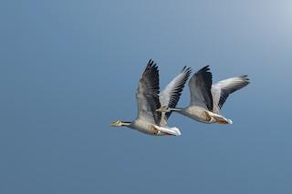 Bar-headed Goose, ML145607321