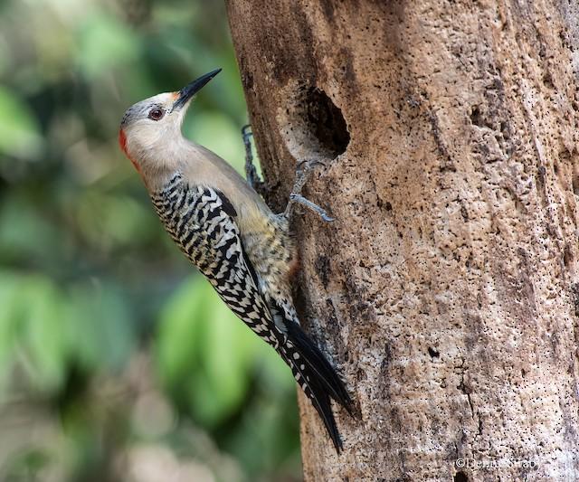 Female (subspecies <em>caymanensis</em>).