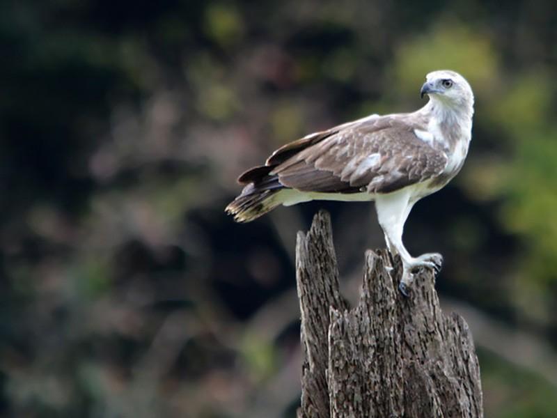 Lesser Fish-Eagle - Choy Wai Mun