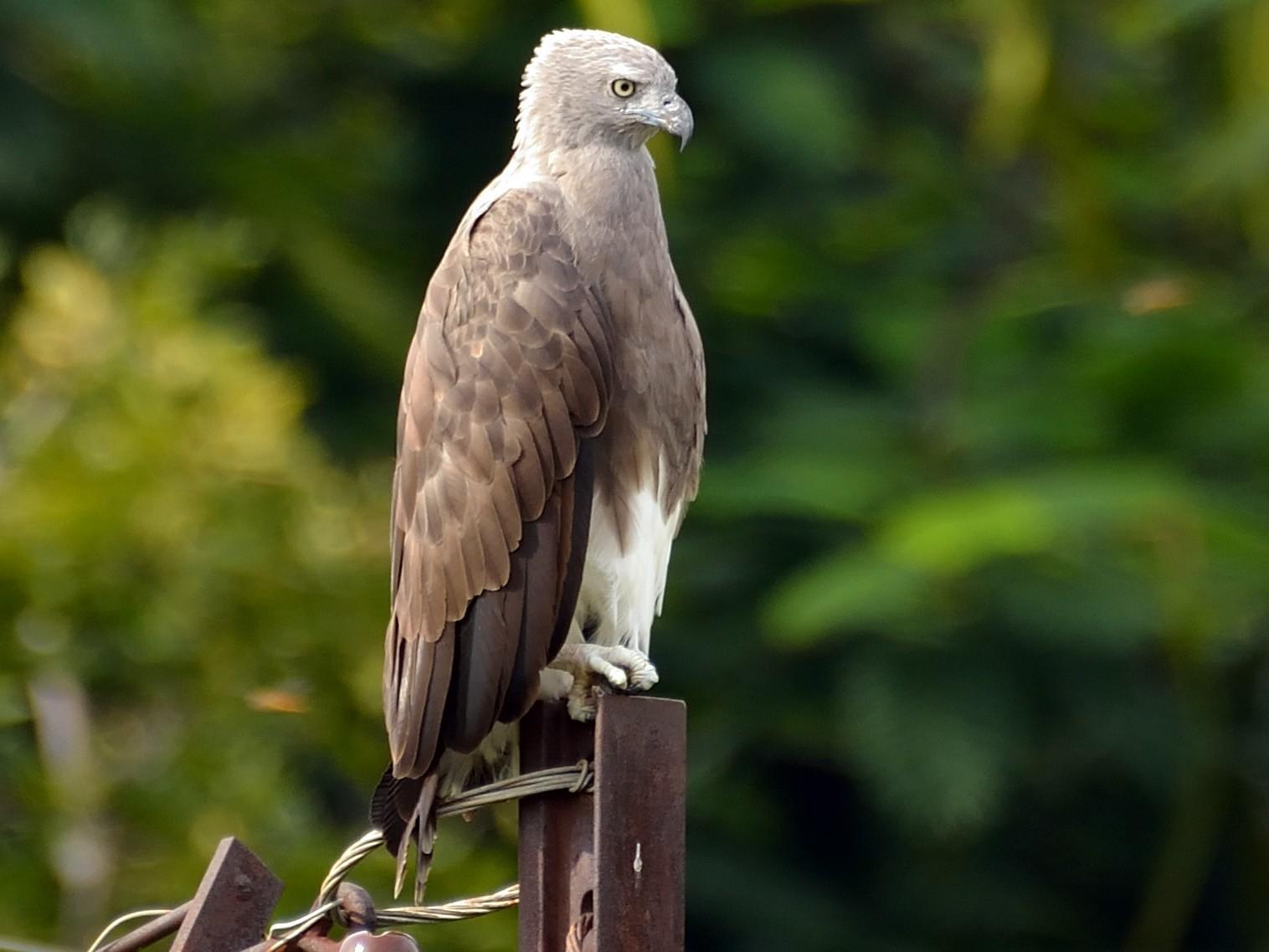 Lesser Fish-Eagle - Sanjay Malik
