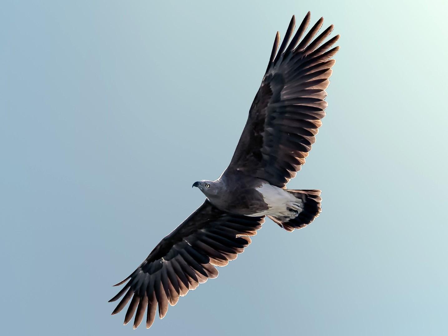 Lesser Fish-Eagle - Nitin Chandra