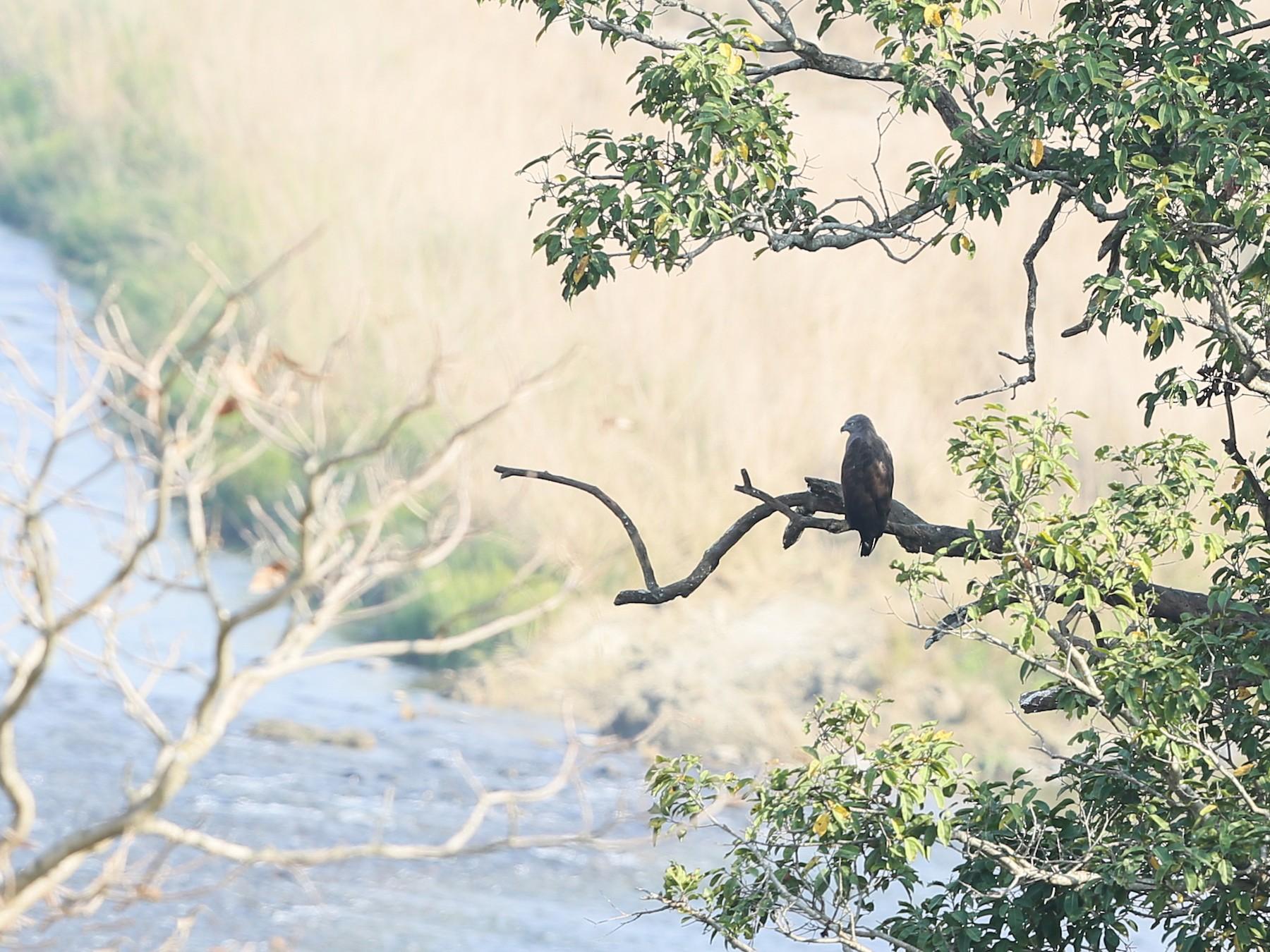 Lesser Fish-Eagle - Gaurang Bagda