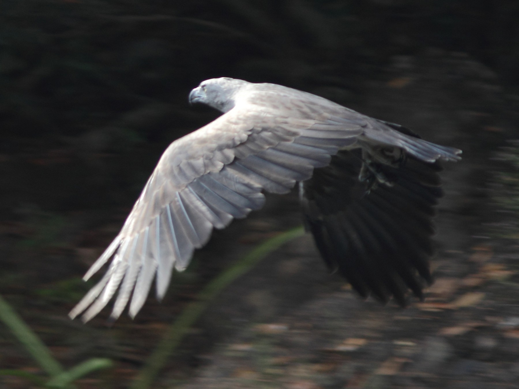 Lesser Fish-Eagle - Harshith JV