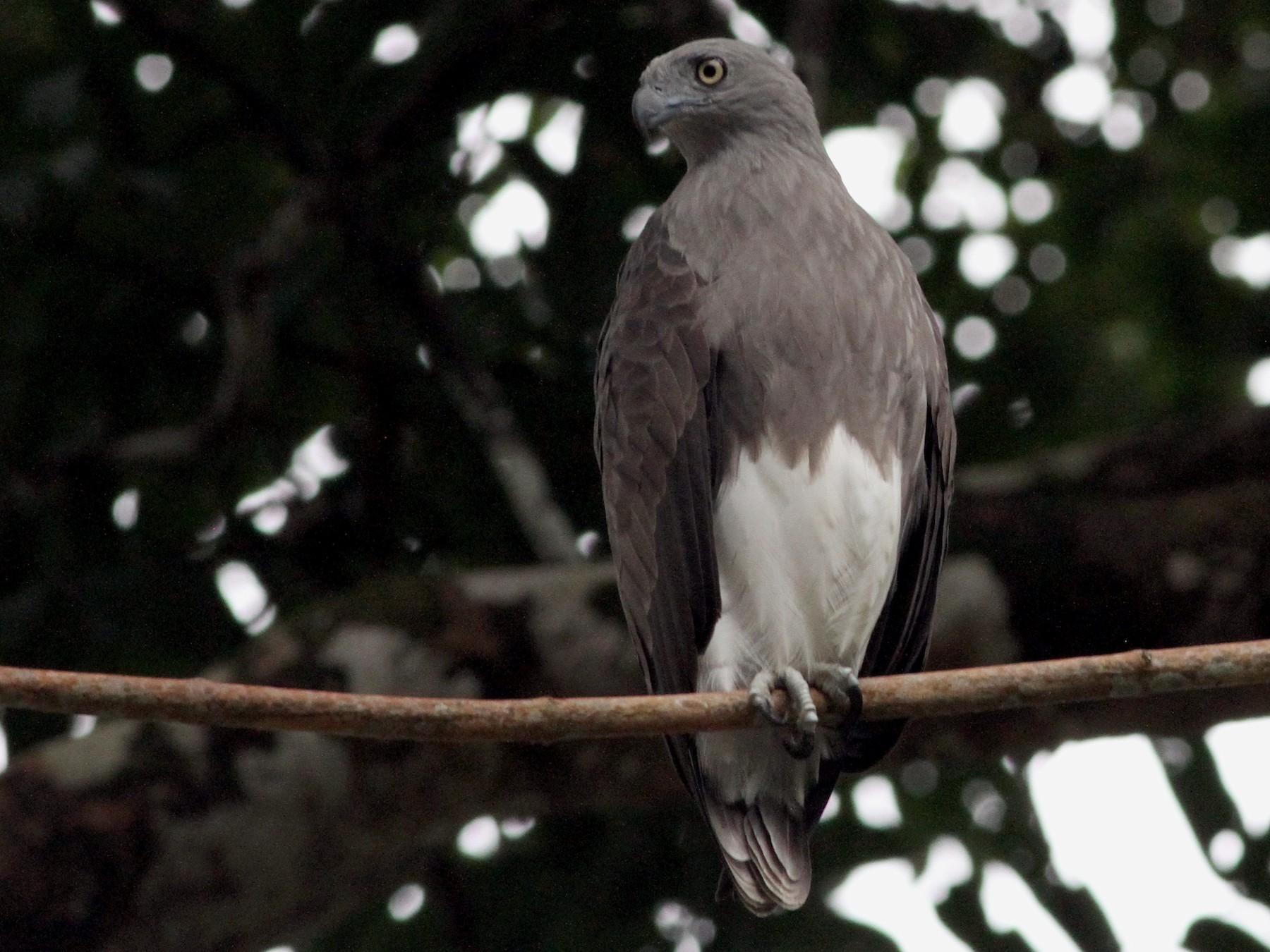 Lesser Fish-Eagle - David Bates