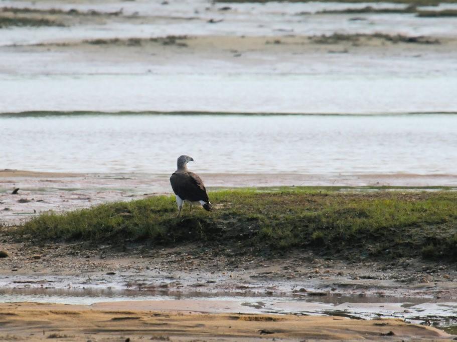 Gray-headed Fish-Eagle - Don-Jean Léandri-Breton