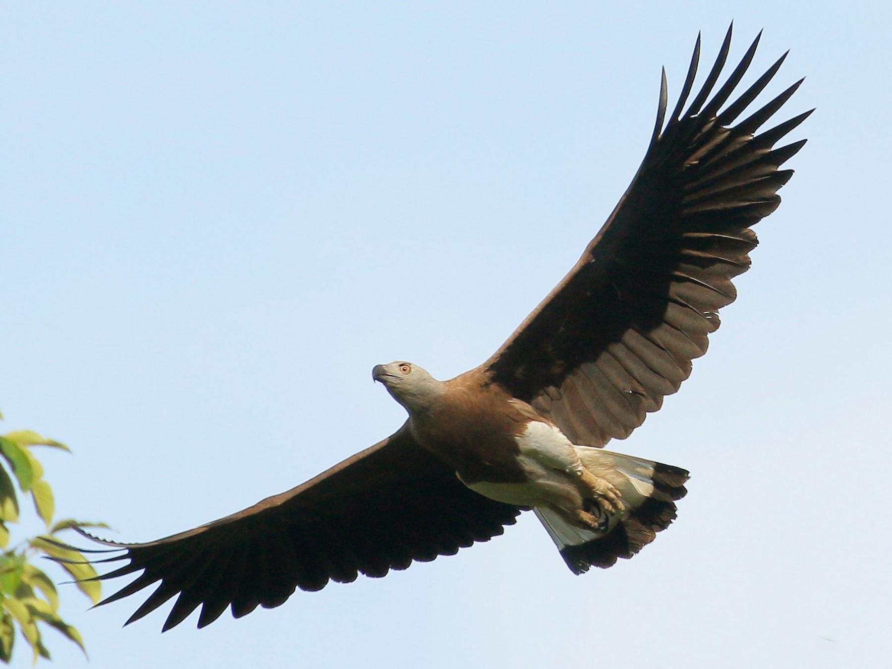 Gray-headed Fish-Eagle - Neoh Hor Kee