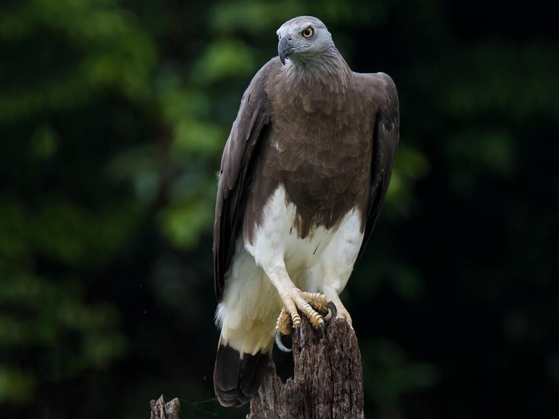 Gray-headed Fish-Eagle - Wich'yanan Limparungpatthanakij