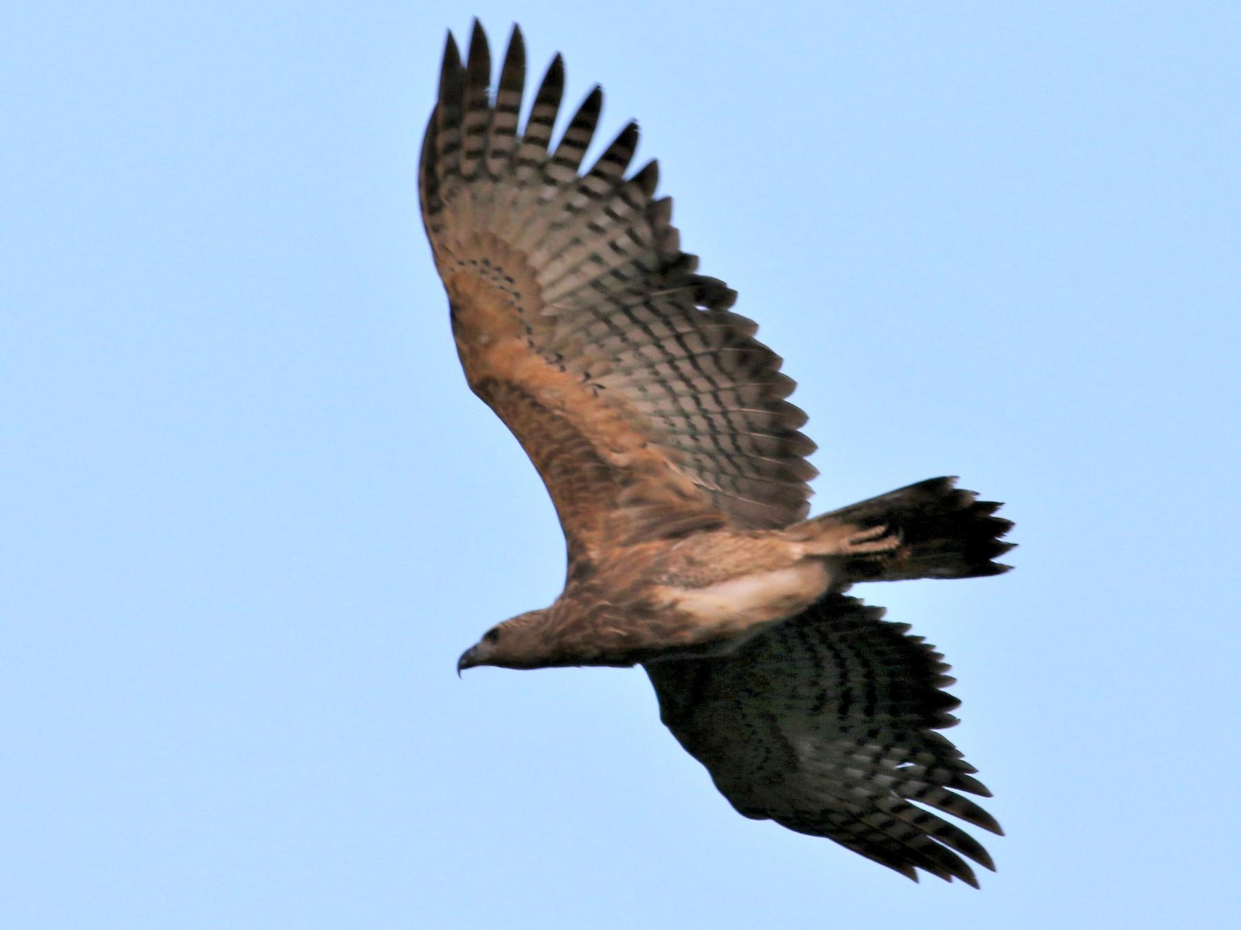 Gray-headed Fish-Eagle - Fadzrun A.