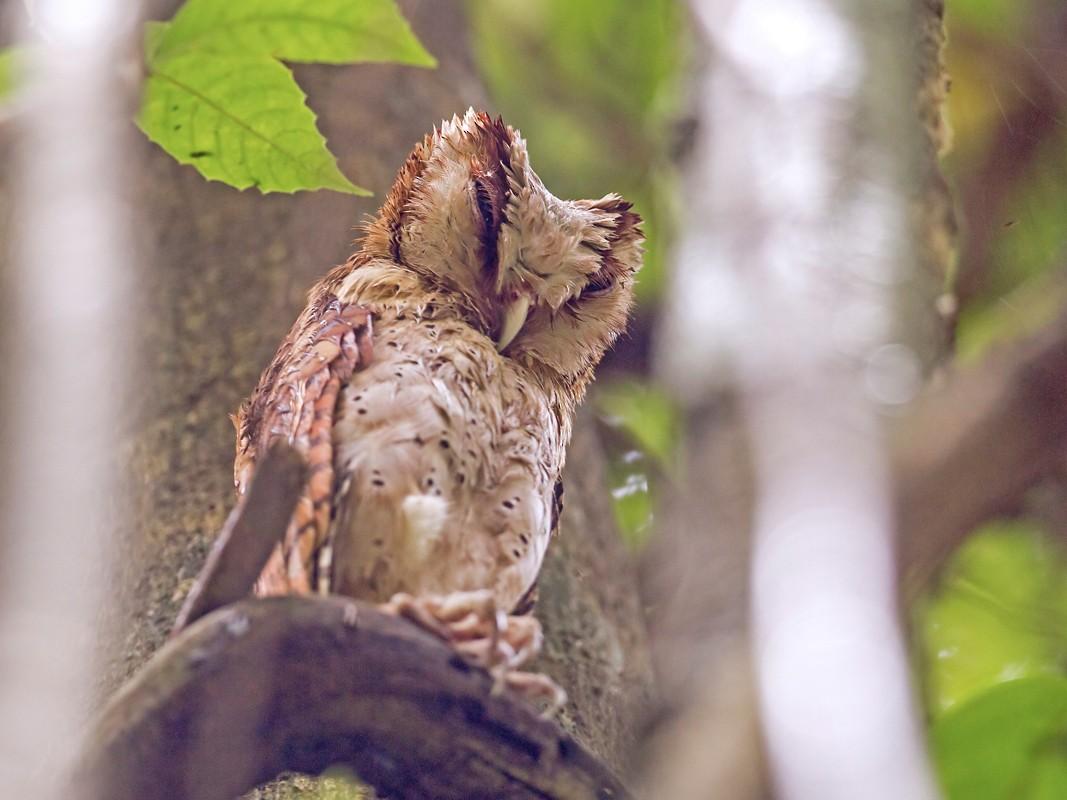 Sri Lanka Bay-Owl - Yogish Holla