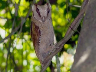 - Sri Lanka Bay-Owl