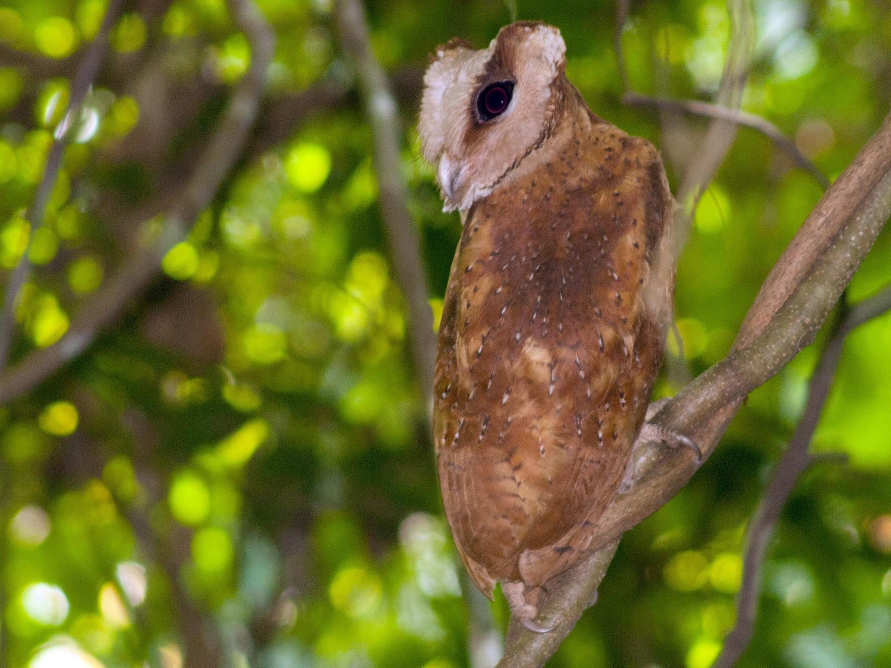 Sri Lanka Bay-Owl - Nameer PO